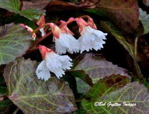 Oconee bell photographed at Corneille Bryan Native Garden