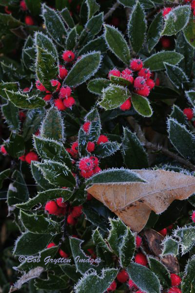 Hoar Frost on Holly. Bob Grytten photo