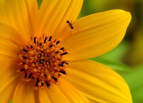 Tick See Sunflower with ant.  Bob Grytten photo