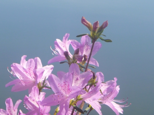 Azalea - Lake Junaluska, Bob Grytten photo