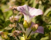 Original Wild Potatoe Vine, Blue Ridge Parkway by Susan L Lawrence