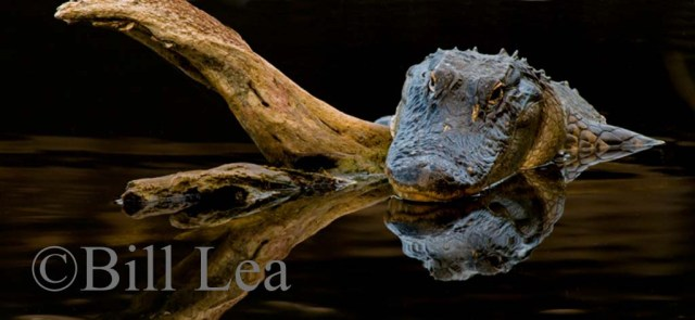 FL Alligator by Bill Lea