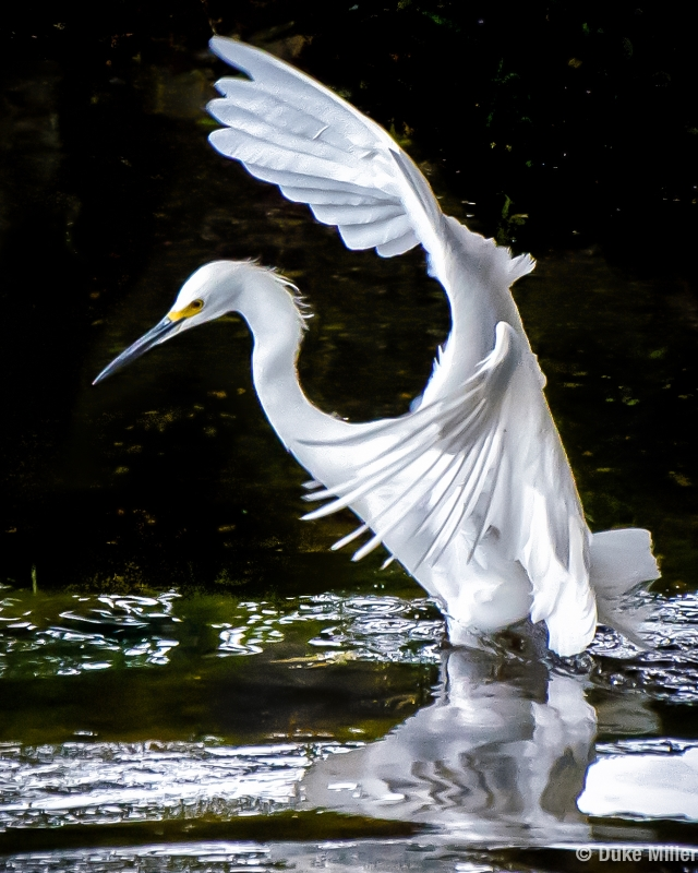 White Egret by Duke Miller