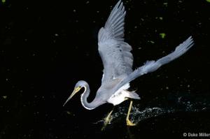 Littl Blue Heron #2 Duke Miller