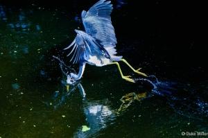 Little Blue Heron #3 Duke Miller