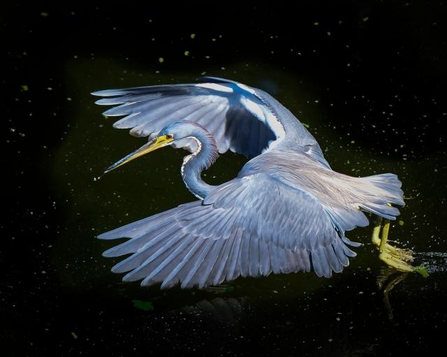 Little Blue Heron by Duke Miller