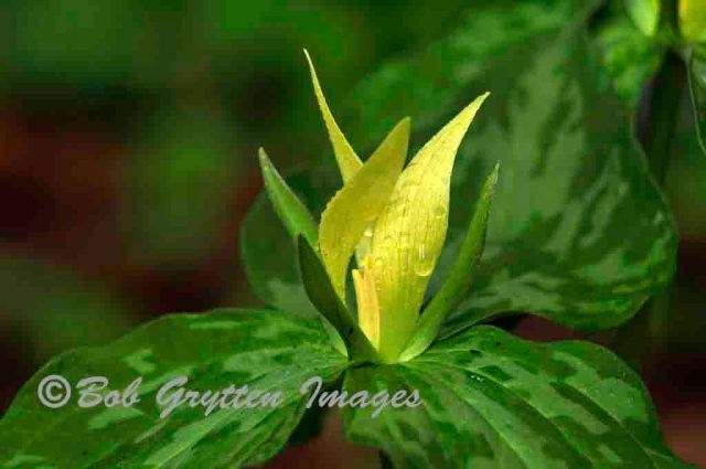 Yellow Toadshade, Corneille Bryan Native Gardens by Bob Grytten
