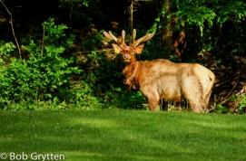 Bull Elk in Velvet, Cat. V.