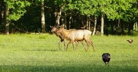 Elk amongst Turkey, CaTaloochee Valley, NC  Bob Grytten Photo