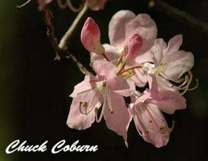 Pink Shell Azaela by Chuck Coburn