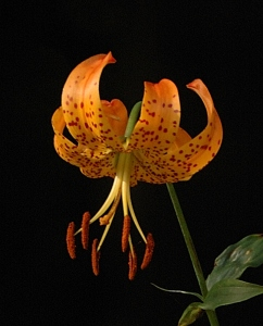 Turks Cap Lily - close