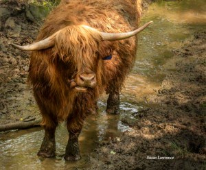 "Scottish Highland Cattle by  Susan ""B"" Lawrence"
