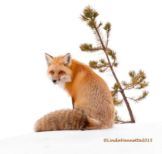 Red Fox by Linda Vannetta, Best of Show at Foto Fest 2015